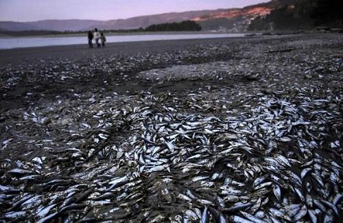 مرگ دستهجمعی هزاران ماهی در سواحل شیلی